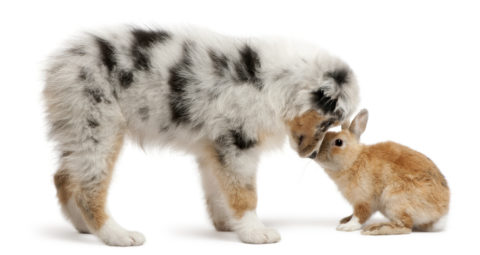 Blue Merle Australian Shepherd puppy face to face with rabbit, s